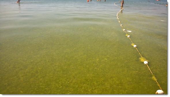 Зеленые водоросли на пляже Анапы